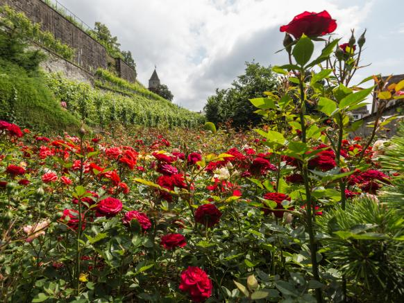 Rose Garden in Rapperswil by Lake Zurich